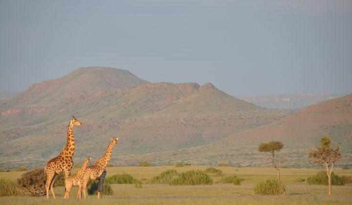 Angola-Giraffen