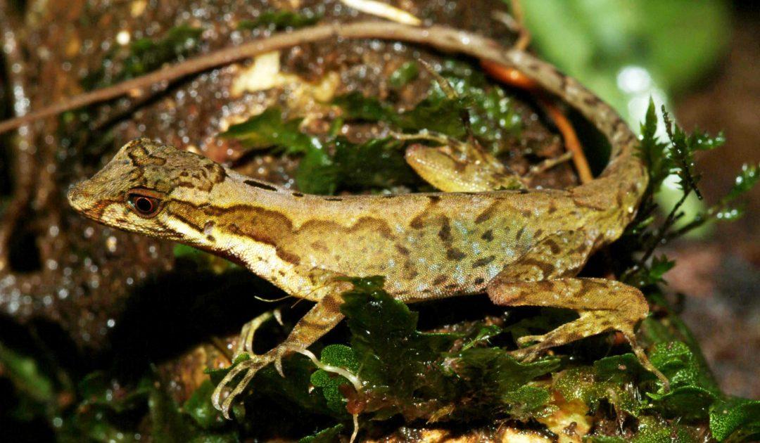 Anolis pseudopachypus