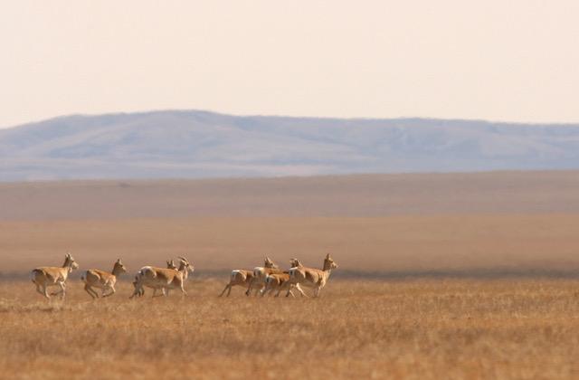 Gazellengruppe in den Weiten des mongolischen Graslandes