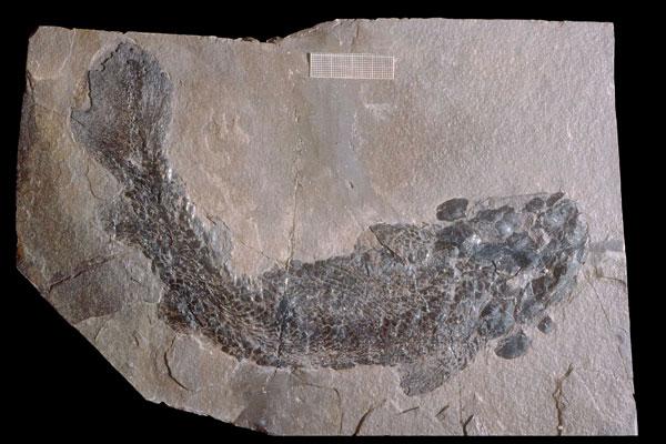 Gyroptychius-agassizi