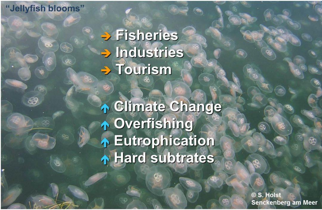 Jellyfish Blooms englisch