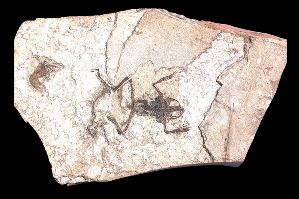 Paleobatrachus