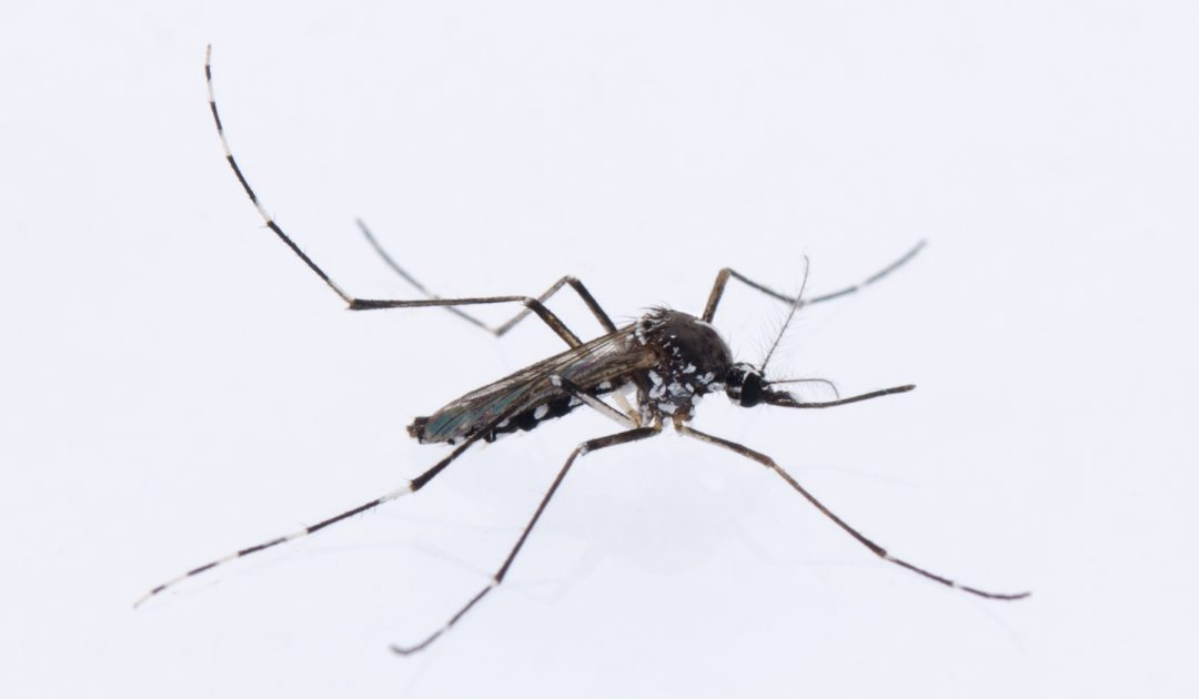 SBiKF_AG_Klimpel_Aedes albopictusfemale