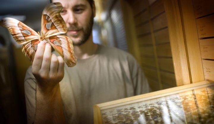 Sammlung Lepidoptera