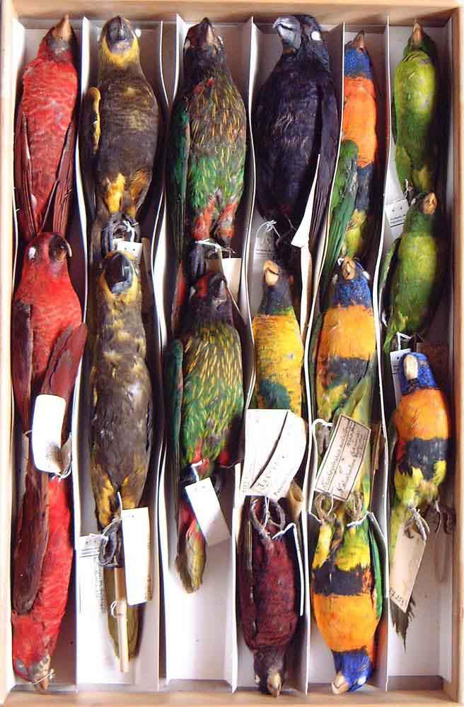 Sammlungskasten Ornithologie Frankfurt
