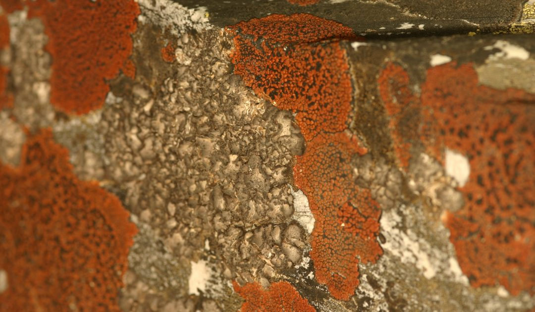 Orangefarbene Lecidea silacea