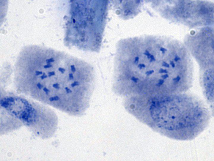 PotentillaAurea - 2 Zellen mit 2n14 Chromosomen