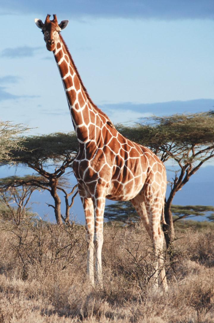 4 verschiedene Giraffenarten