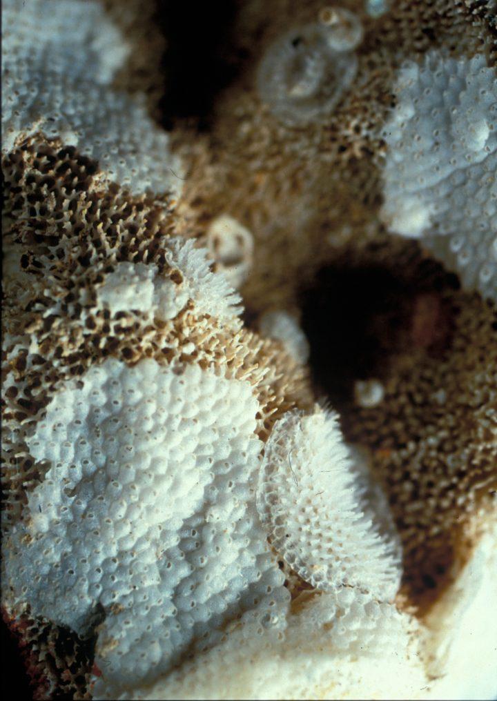 Bryozoen unter Lichtmikroskop