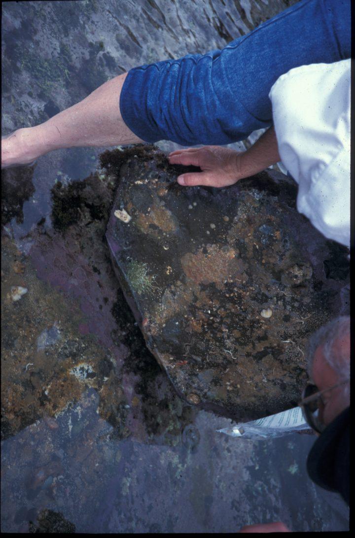 Bryozoenkrusten unter einem Stein