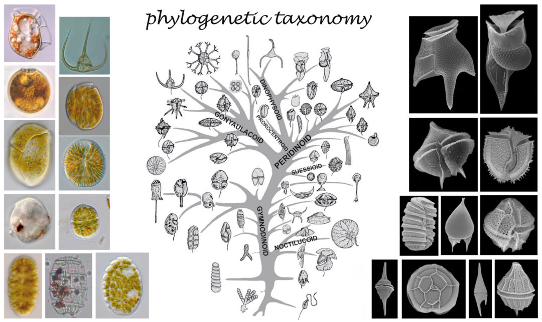 Meeresbotanik phylogenetic taxonomy