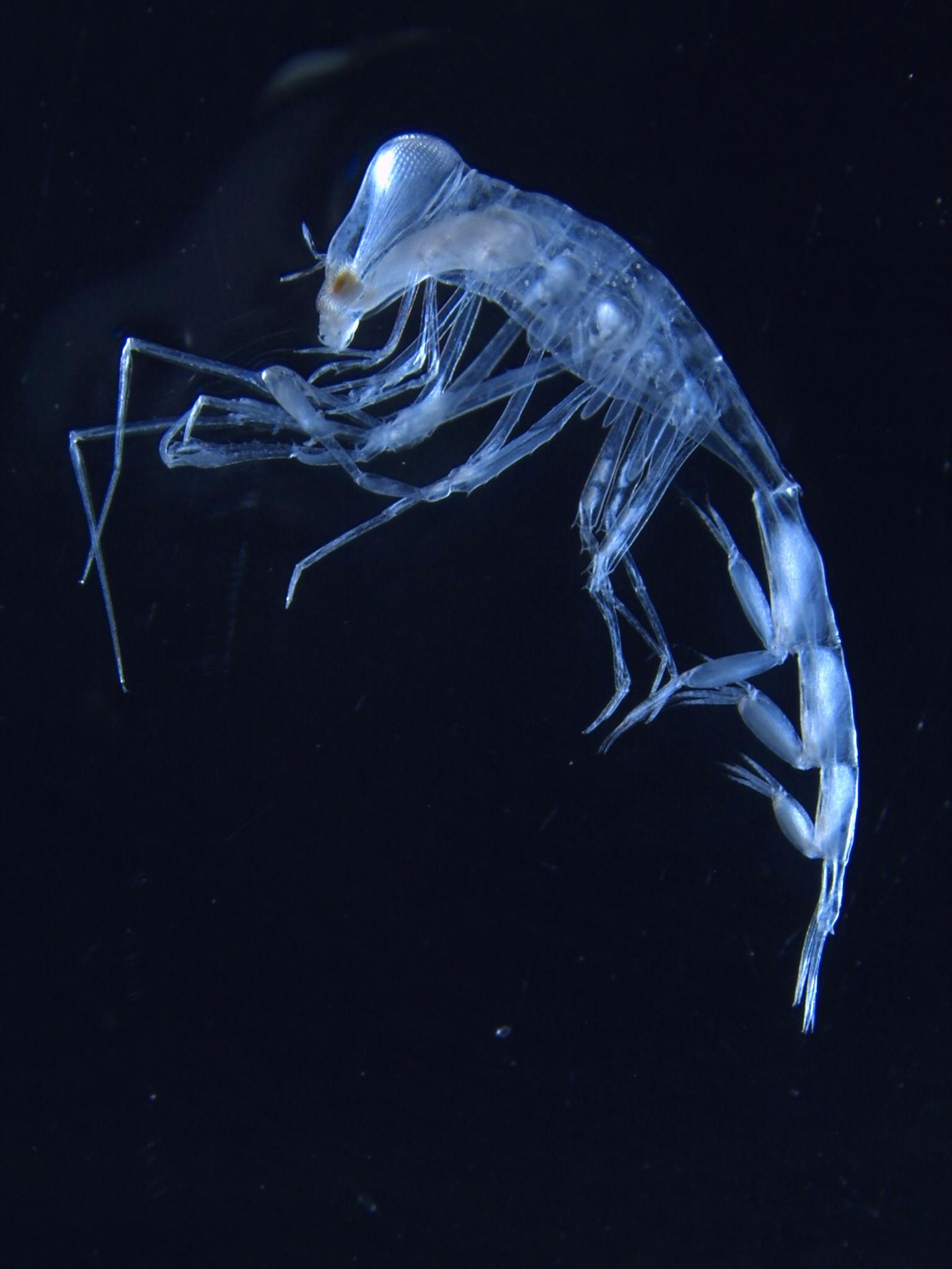 Zooplankton Pic1_Amhipod_Phronimella