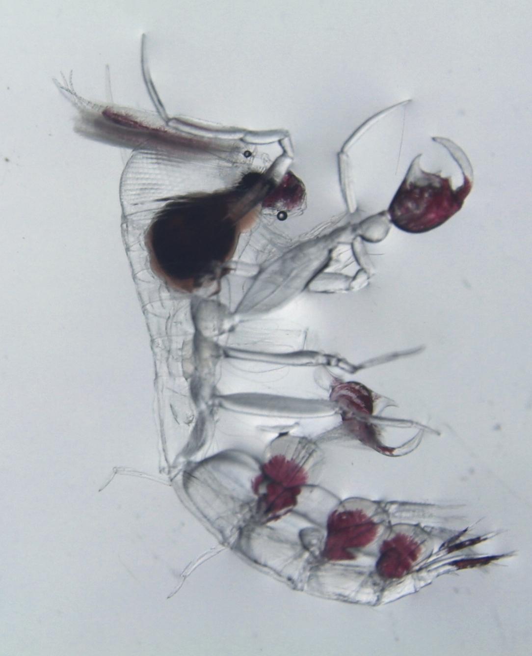 Zooplankton Pic3_Amphipod