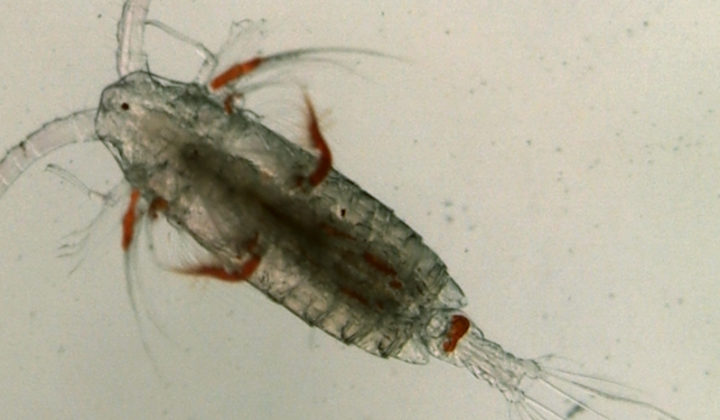 Zooplankton Pic5_Calanoid_Copepod