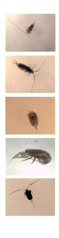 Zooplankton Pic7_Calanoid_Copepods