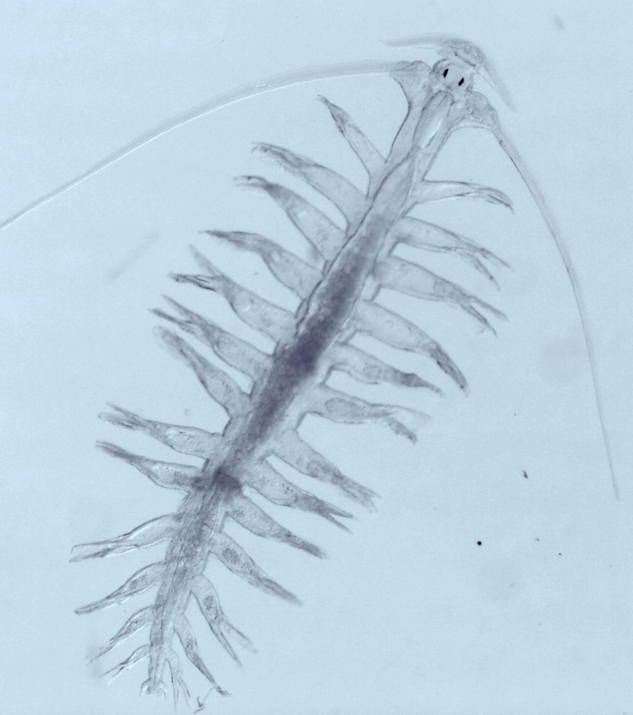 Zooplankton Pic8Polychaet Tomopteris sp.