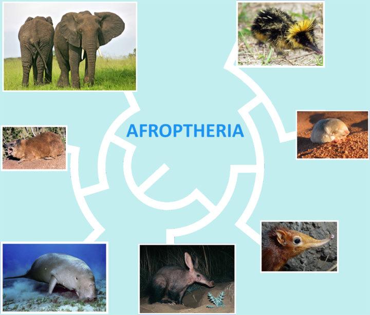 Die Afrotheria: ~80 Arten,die ein Drittel der evolutionäre Diversität der Säugetiere darstellen.