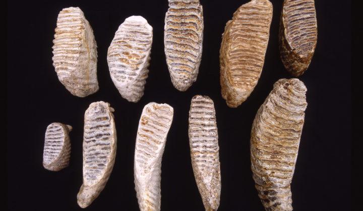 fossile Molare