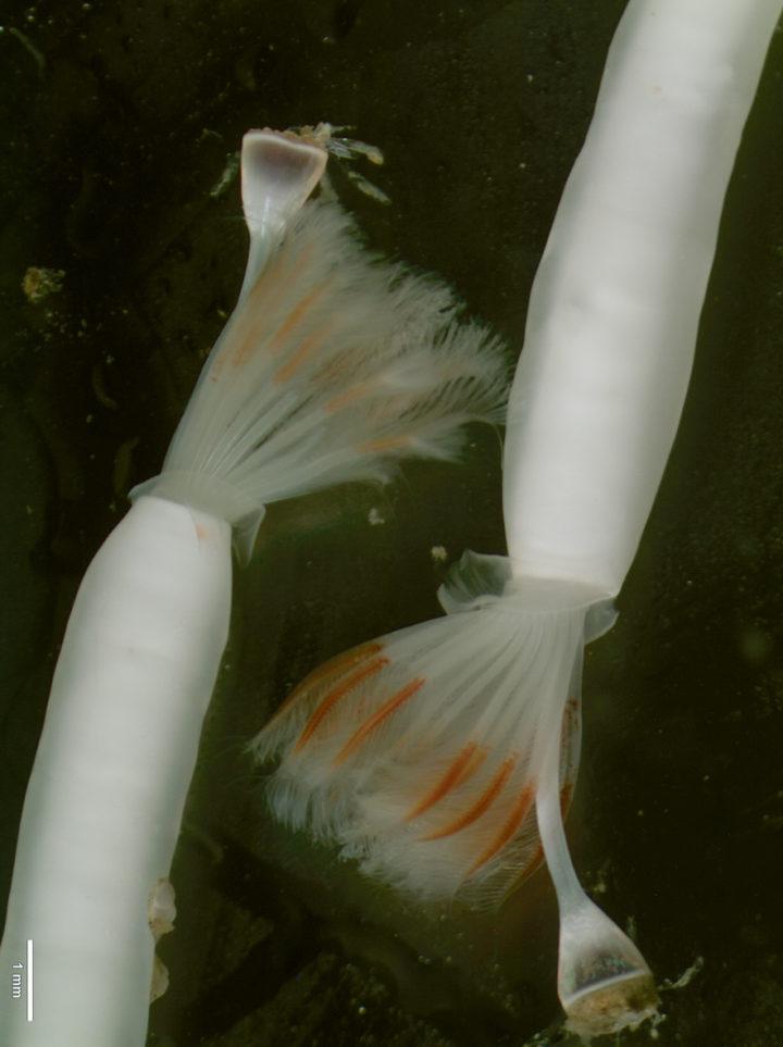 Serpulidae Ditrupa arietina