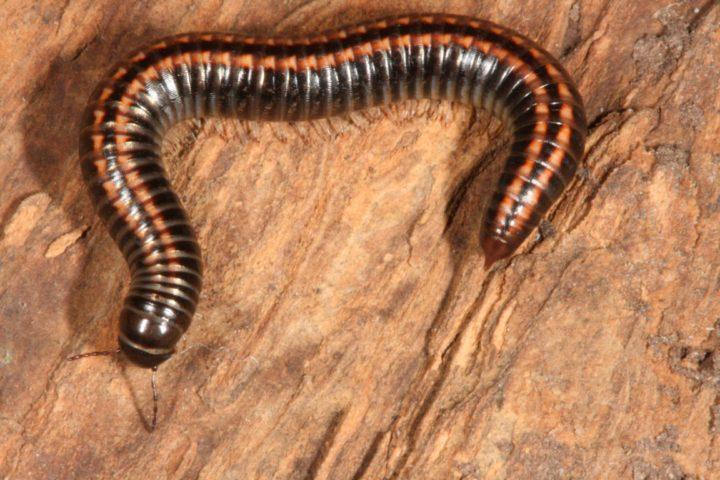 Bilder Myriapoda