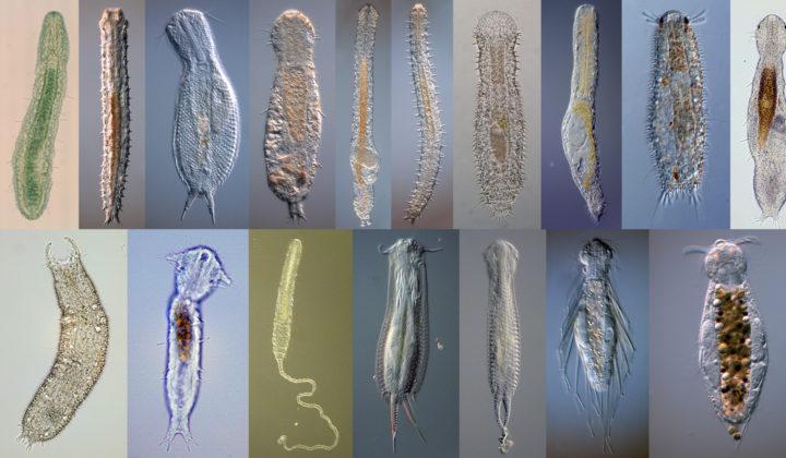 DZMB Meiofauna Gastrotricha diversity