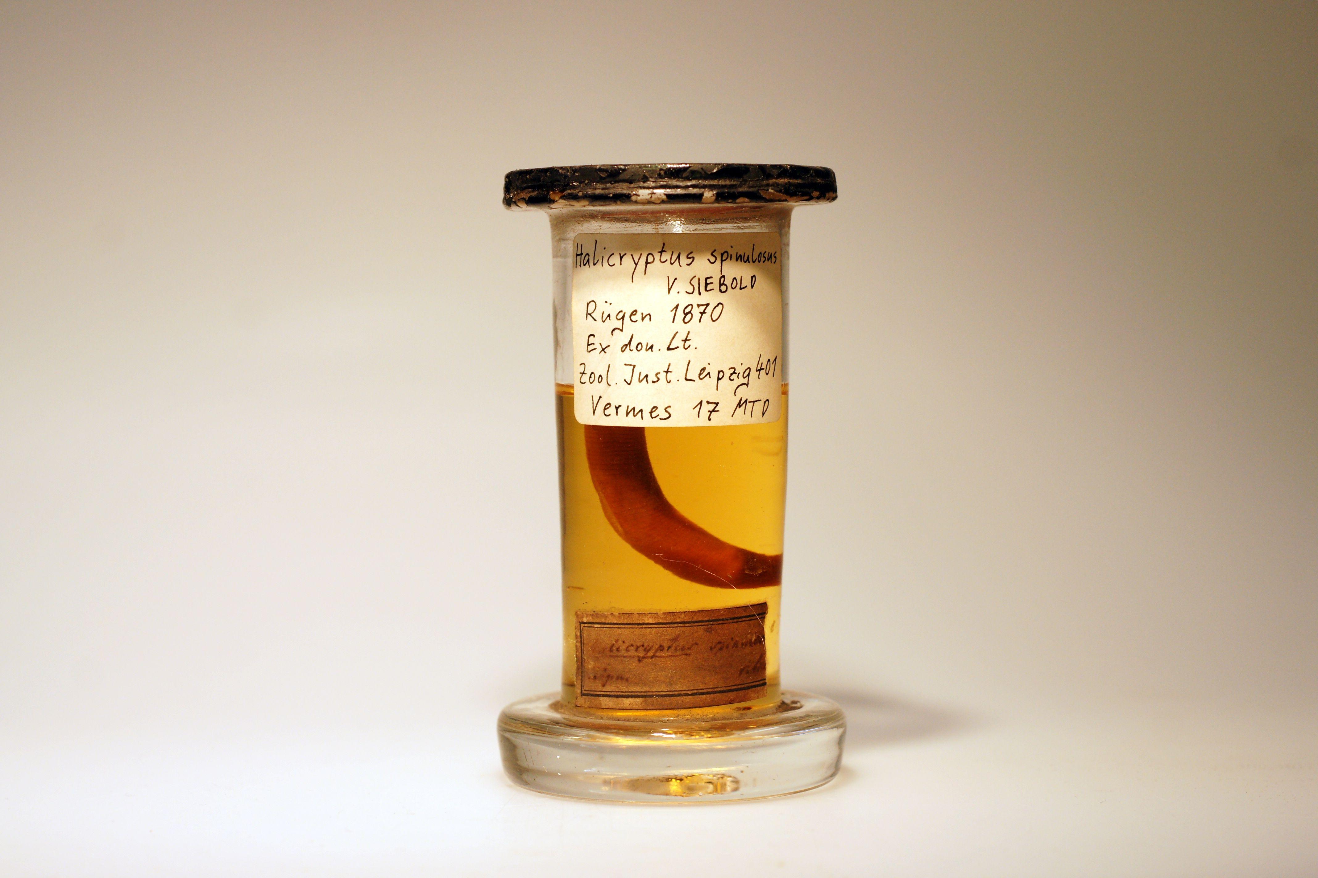 Halicryptus spinulosus, historische Sammlung Leuckart