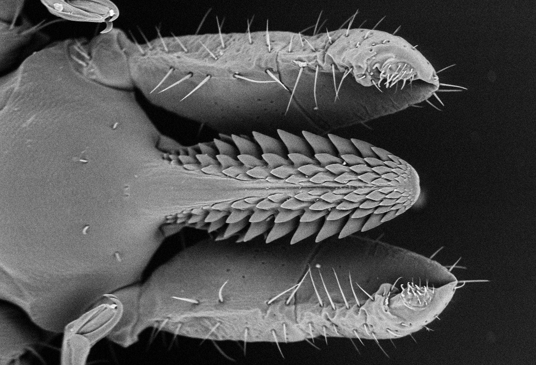 Stechapparat eine weiblichen Zecke (Holzbock) Ixodes ricinus