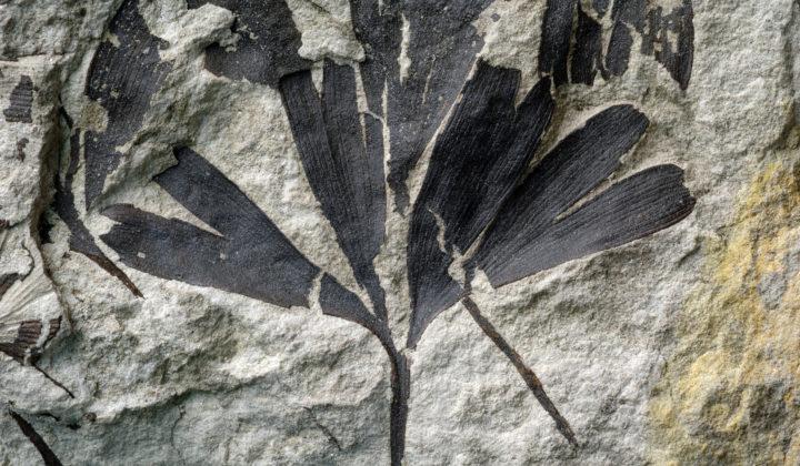 fossiles Gingkoblatt