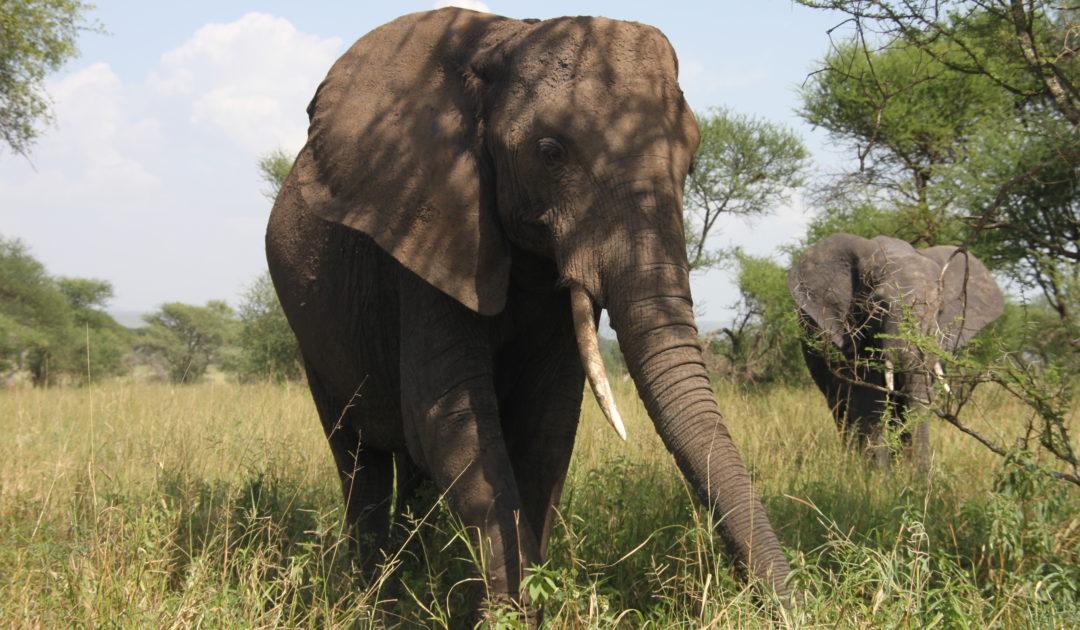 Abbildung Elefanten
