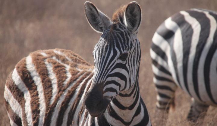 Abbildung Zebras