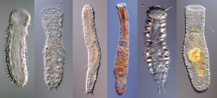 Azorean Gastrotricha