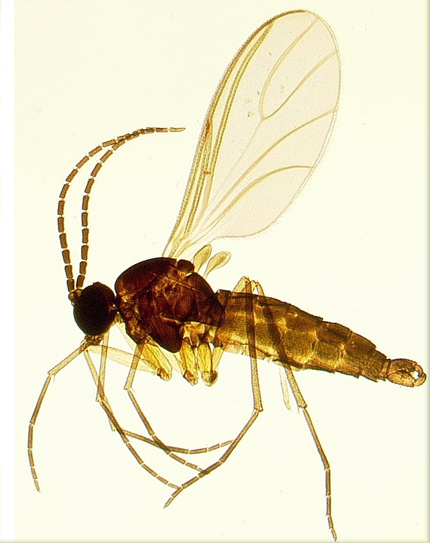 SDEI Kustodiat Diptera