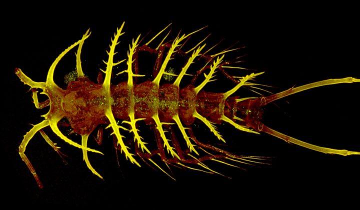 Ceratonotus steiningeri George