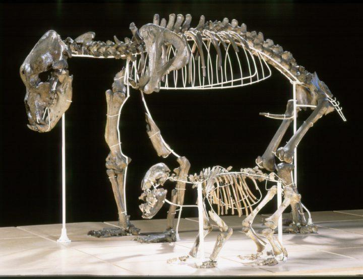 Höhlenbär Skelett