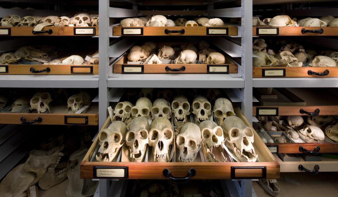 Mammalogie Sammlungsschrank mit Primatenschädeln