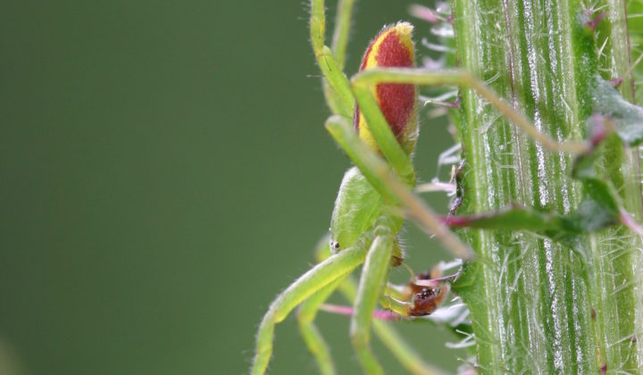 Micrommata virescens, male