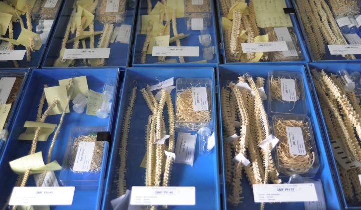 Paläoherpetologie Sammlung Messel