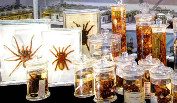 Sammlung Arachnologie