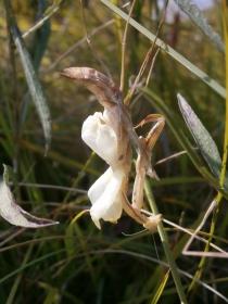 Insekt des Jahres 2017 - Gottesanbeterin (Mantis religiosa): Gottesanbeterin-Weibchen bei der Adult-Häutung.