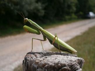 Insekt des Jahres 2017 - Gottesanterin (Mantis religiosa): auf einem Stein sitzend.