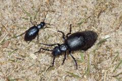 Schwarzblauer-Oelkaefer