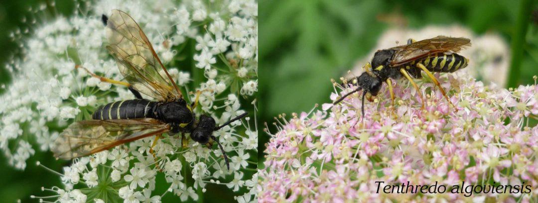 SDEI Kustodiat Hymenoptera