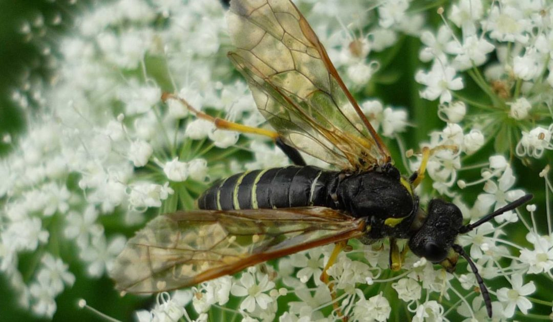 SDEI Kustodiat Hymenoptera Team