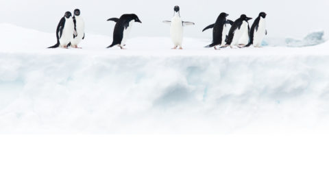 Pinguine Fade Out
