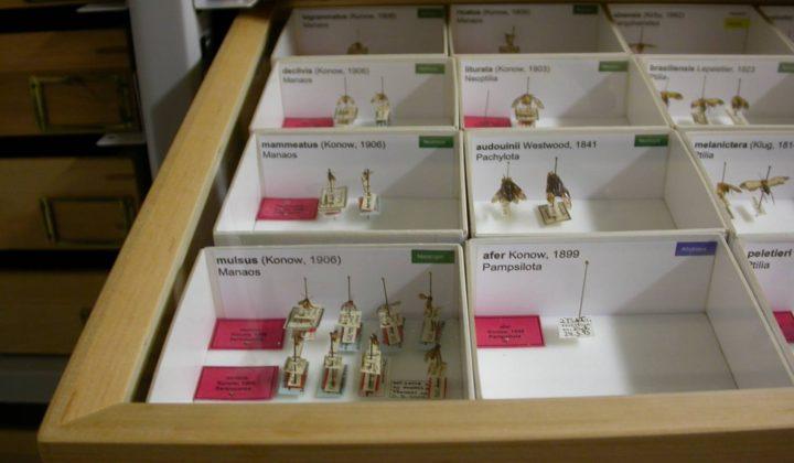 SDEI Insektensammlung: Blattwespen