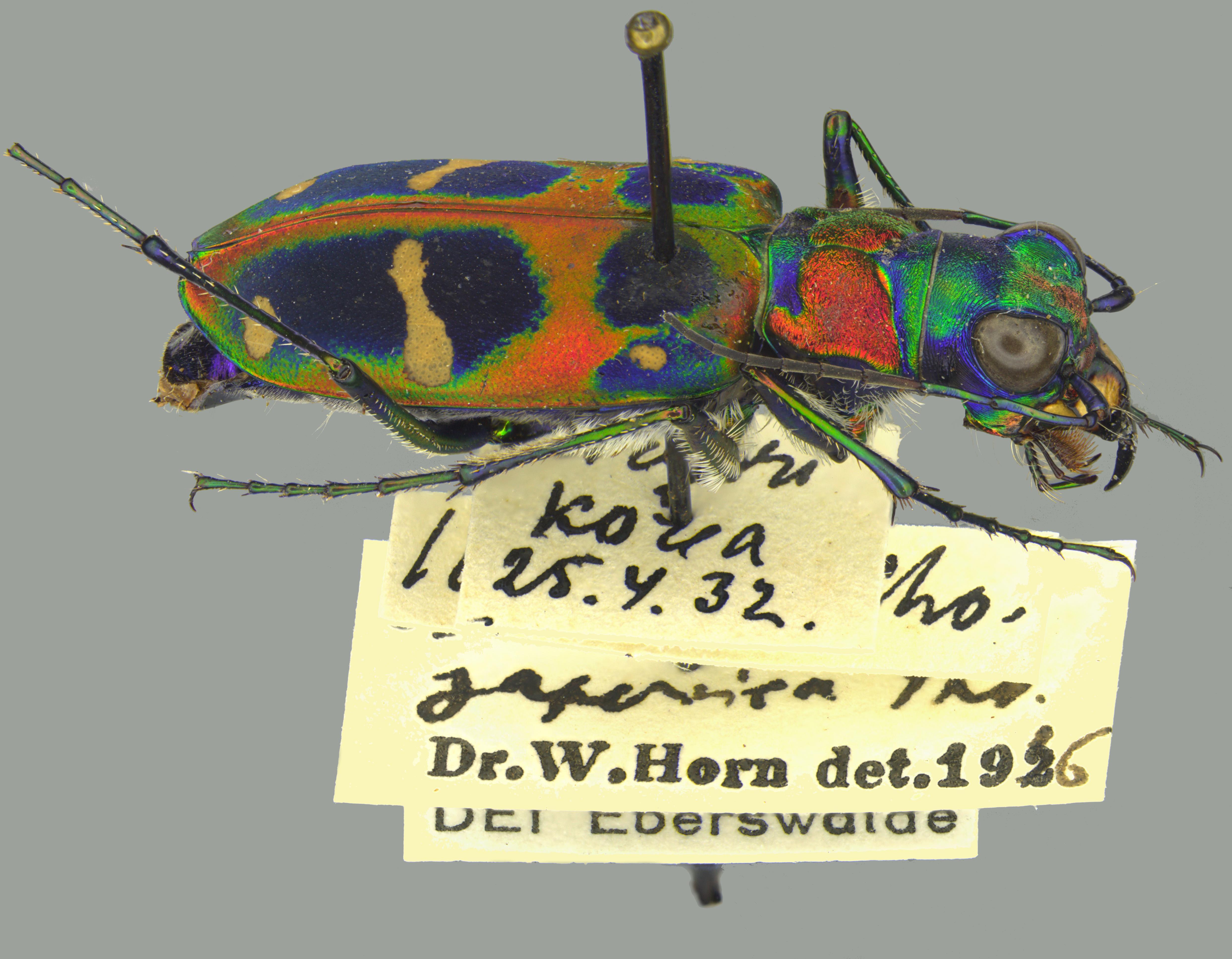 SDEI Kustodiat Coleoptera