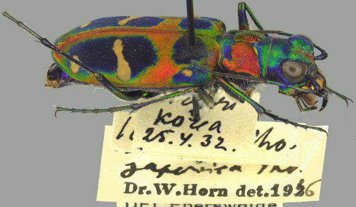 SDEI Müncheberg: Kustodiat Coleoptera