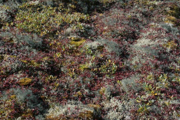 Zwergstrauchheide mit Alectoria nigricans (graugrün) und Flavocetraria nivalis (gelbgrün)