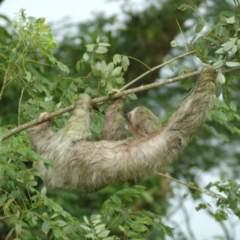 Regenwald Costa Rica Faultier