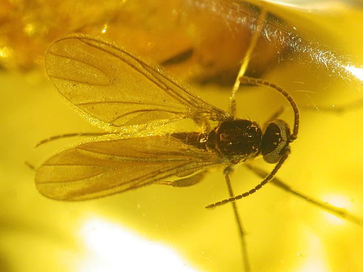 Sciaridae spec